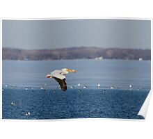 Pelican Flying Into Open Water Poster