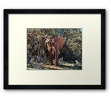 In the Shade African Elephant – Loxodonta africana Framed Print
