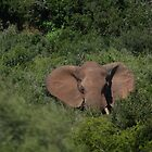 Deep in the  Bush African Elephant – Loxodonta africana by Warren. A. Williams