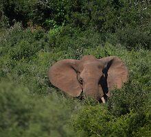 Deep in the  Bush African Elephant – Loxodonta africana by Warren. A. Williams