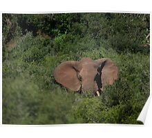 Deep in the  Bush African Elephant – Loxodonta africana Poster