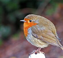 Welsh Robin by Kat Simmons