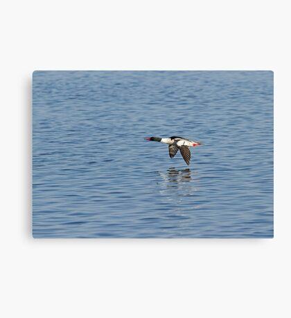 Male Common Merganser In Flight Canvas Print
