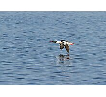 Male Common Merganser In Flight Photographic Print
