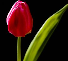 tulip red green black by drdoc2000