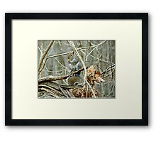 Gray Squirrel - Sciurus carolinensis Framed Print
