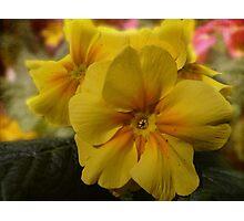 yellow primrose Photographic Print