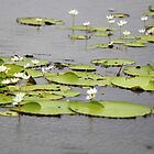 Lilly of the Lake by joshduth