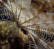 Crinoid by James Deverich