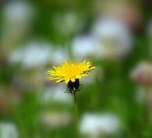 Lawn Daisy by dez7