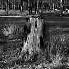 The Ole Stump by Mark Batten-O'Donohoe