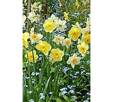 Spring daffodil garden Photographic Print