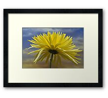 Yellow Spider Chrysanthemum. Framed Print