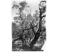 Texas Tree Poster