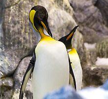 Preening King penguin (Aptenodytes patagonicus) by ensell