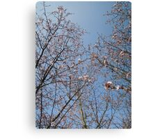 March Blossom (2014)  Canvas Print