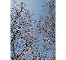 March Blossom (2014)  Photographic Print