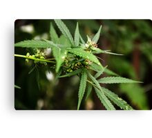 Cannabis II Canvas Print