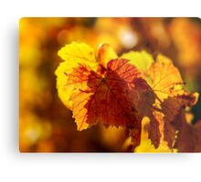 Colorful golden leaves of grape, Alsace Metal Print