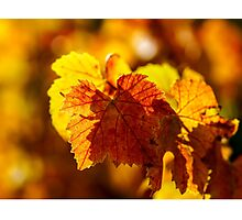 Colorful golden leaves of grape, Alsace Photographic Print