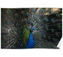 Social Peacock Poster