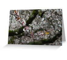 White cherry blossoms - Single strand Greeting Card