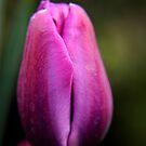 Tulip by Karen  Betts