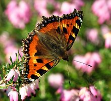 Small Tortoiseshell Butterfly by Russell Couch