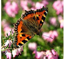 Small Tortoiseshell Butterfly Photographic Print