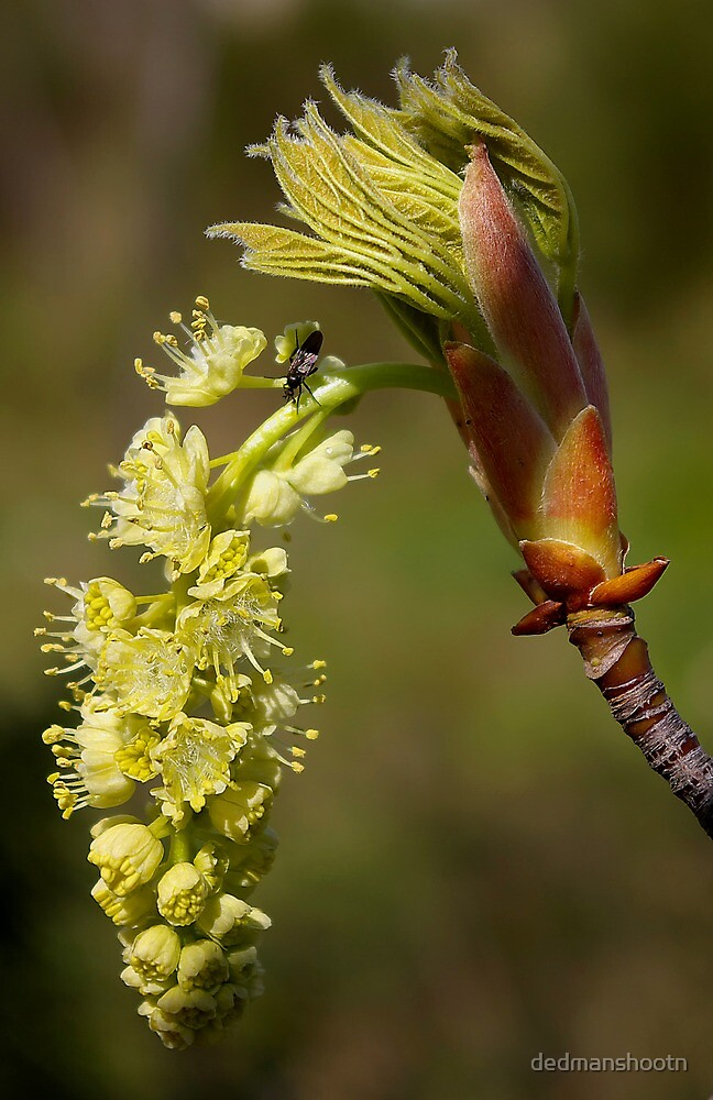 fresh popped big leaf maple bud, and bug by dedmanshootn
