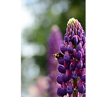 Purple Lupin and Friend Photographic Print
