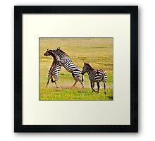 Zebra Fight Framed Print