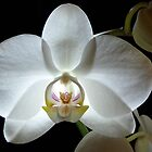 Alluring Orchid by Kathilee