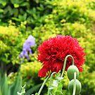 Red Oriental Poppy by MidnightMelody