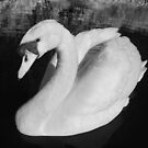 A Swan by SylviaHardy