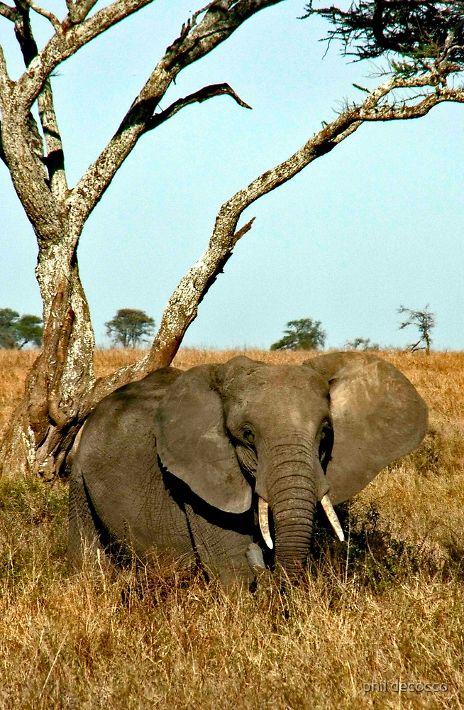 African Elephant by phil decocco