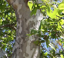 Sycamore Tree by heatherfriedman