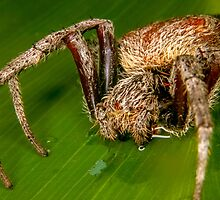 Spider On A leaf by JustinEid