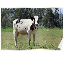 Young Holstein in a Pasture Poster
