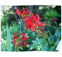 Beautiful Red Flowers Poster