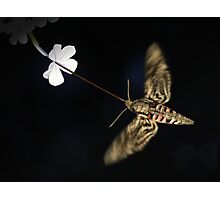 Convolvulus Hawk-Moth Photographic Print