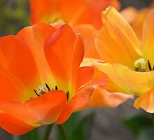 Orange Tulips by joAnn lense