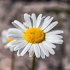 Daisy by Mark Williams