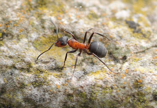 """"""" Red Wood Ant """" by Richard Couchman"""
