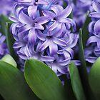 Hyacinth Food of Thy Soul by Karen E Camilleri