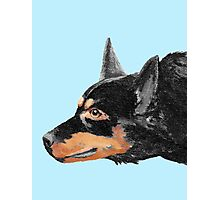 Australian Kelpie Black Portrait Photographic Print