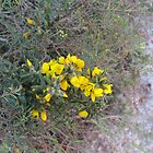 Healthy Yellow Pea flower, Bush Track Evans Head. Nth. N.S.W. by Rita Blom