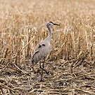 Sandhill Crane In The Corn by Thomas Young