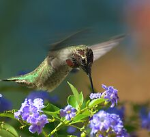 Male Anna's Hummingbird In Flight by Kgphotographics