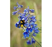 Bumble Bee On Larkspur Photographic Print